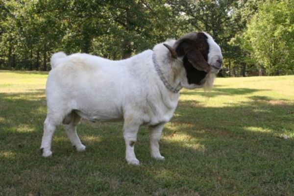 Bear Creek BC R16 Michael - Boer Goat Buck