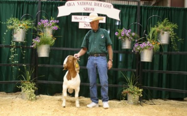 Bear Creek BC V205 Yogi - Boer Goat Buck