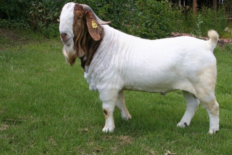 Bear Creek BC B589 Steam's Carbon Copy - Boer Goat Buck