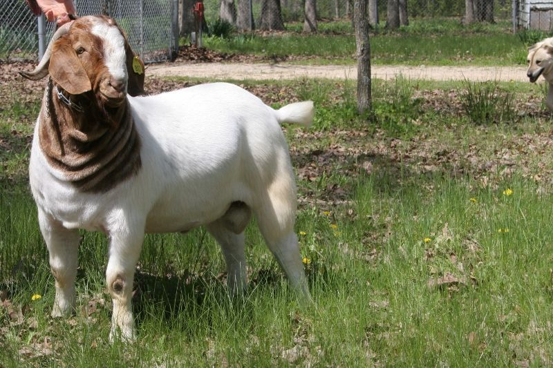 Bear Creek BC D817 Argo - Boer Goat Buck