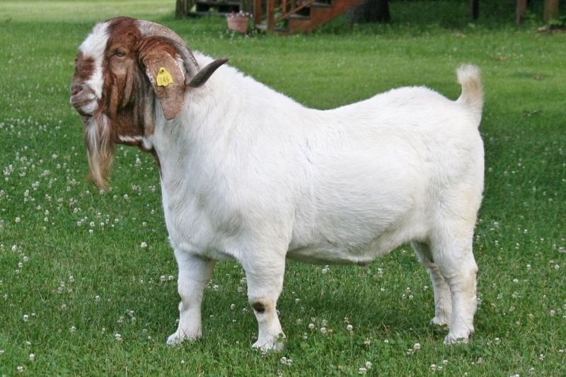 Bear Creek BC C746 Rainmaker's Thunder - Boer Goat Buck