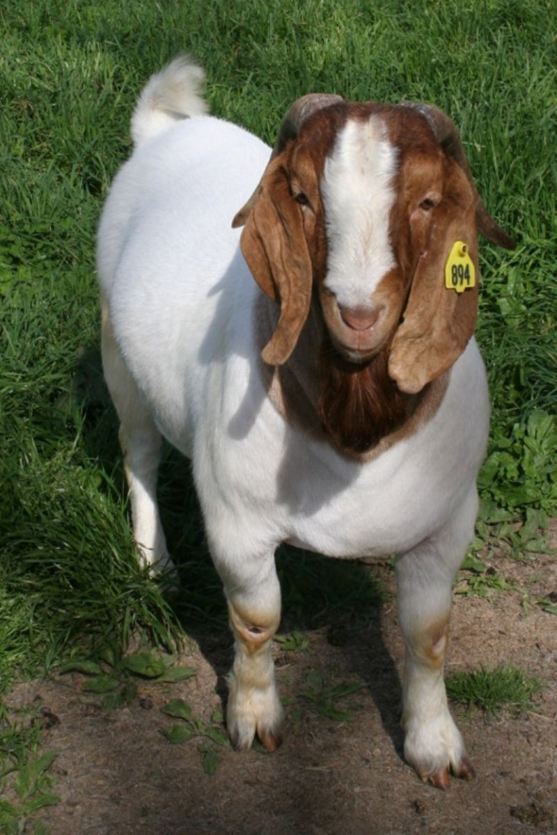 Bear Creek BC E894 Harambe - Boer Goat Buck