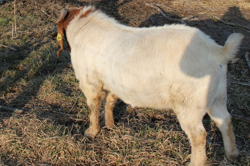 Bear Creek BC G1044 Jazz's Precision - Boer Goat Buck