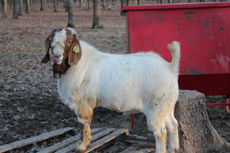 Bear Creek BC H1072 - Boer Goat Buck