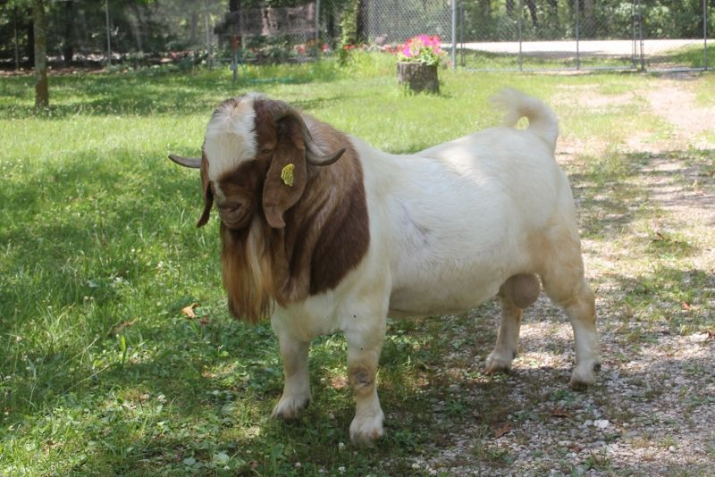 Bear Creek BC G1068 Harambes Dream Maker - Boer Goat Buck